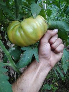 un poing de tomate