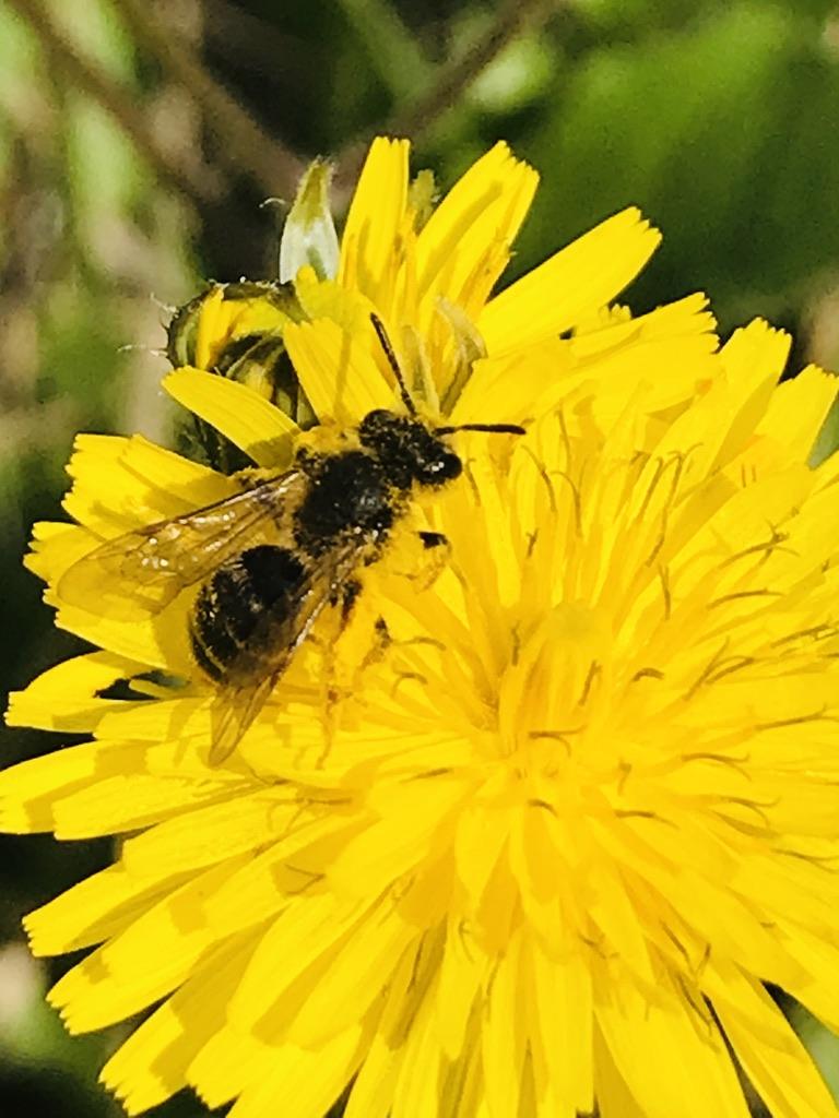 abeilles dromoise